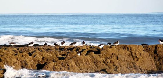 Coastal Birds and Human Disturbance